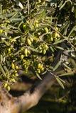 Ripe green olives on tree Royalty Free Stock Photo