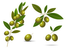 Ripe green olives. Vector set leafy green twigs with healthy ripe green olives  on white background Royalty Free Stock Image