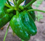 Ripe, green peppers grown in a greenhouse, ready for use stock images