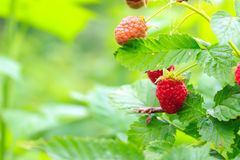 Ripe and green raspberry on the bush, organic background. Ripe and green raspberry on the bush, organic background Royalty Free Stock Image