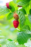 Ripe and green raspberry on the bush, organic background. Ripe and green raspberry on the bush, organic background Stock Photography