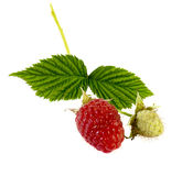 Ripe and green raspberry with leaves. Ripe and green raspberry on the branch with leaves. Isolated on white Stock Images