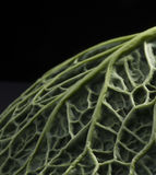 Ripe green savoy cabbage. Royalty Free Stock Photo