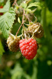 Ripe and green single raspberry on a stem. On a sunny day Stock Image