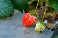 Ripe and green strawberries. A close up of organic ripe and green strawberries using drip irrigation system Stock Images