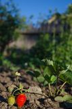 Ripe and green strawberries. Red and green strawberries in the garden Royalty Free Stock Photos