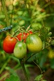 Ripe and green tomatoes on a bush branch Stock Images