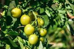 Ripe green tomatoes in an organic orchard. Coriano, Emilia Romagna, Italy. Detail of some ripe green tomatoes in an organic orchard. Coriano, Emilia Romagna royalty free stock image