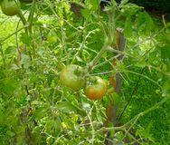 Tomatoes on their stalk. The tomato (etymology and pronunciation) is the edible, often red fruit/berry of the nightshade Solanum lycopersicum,[1][2] commonly Royalty Free Stock Images
