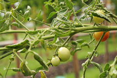 Ripe and green tomatoes Royalty Free Stock Image