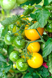 Ripe and green tomatoes in the vegetable garden. Royalty Free Stock Image