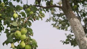 Ripe green yellow apples on the branch growing. Green apples grow on a tree stock video footage
