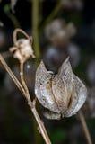 Ripe ground cherry. Physalis alkekengi Royalty Free Stock Photo