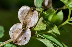 Ripe ground cherry. Physalis alkekengi Royalty Free Stock Image