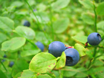 Ripe growing blueberries. Shrubs with ripe blueberries in Southern Finland Royalty Free Stock Photo