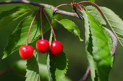 Ripe growing cherries Stock Photography