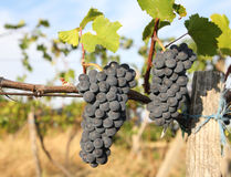 Ripe growing grapes closeup. Ripe growing grapes in vineyard stock photos
