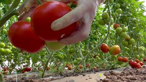 Ripe grown tomatoes in the greenhouse stock video