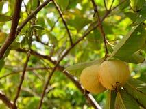 Ripe guavas and Praying mantis Stock Photo
