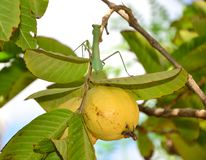 Ripe guavas and Praying mantis Royalty Free Stock Photo