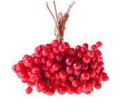 Ripe Guelder Berries Stock Images
