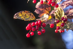 Ripe Guilder rose (or Cranberry high) berries Royalty Free Stock Images