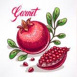 Ripe hand-drawn pomegranate - 2 Royalty Free Stock Image