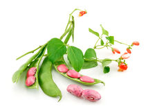 Ripe Haricot Beans with Seed and Blossom Isolated Stock Photo