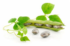 Ripe Haricot Beans with Seed and Leaves Isolated Royalty Free Stock Image