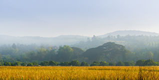 Ripe Harvest. Ripened rice is ready to be harvested in Northern Thailand Royalty Free Stock Photos