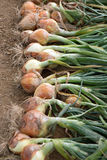 Ripe harvested onion on the field Royalty Free Stock Photography