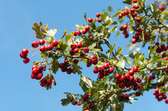 Ripe hawthorn in autumn Stock Photography