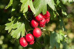 Ripe hawthorn in autumn Royalty Free Stock Photos
