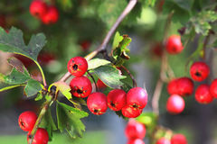 Ripe hawthorn in autumn Royalty Free Stock Photography