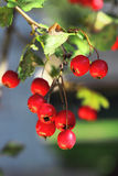 Ripe hawthorn in autumn Stock Photo