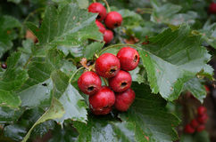 Ripe hawthorn in autumn Royalty Free Stock Image