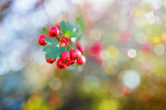 Ripe hawthorn in autumn Stock Image