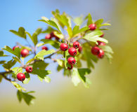 Ripe hawthorn berries Stock Photos