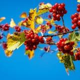 Ripe hawthorn berries Royalty Free Stock Photo