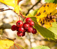 Ripe hawthorn berries Stock Photography