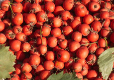 Ripe hawthorn berries crop closeup Royalty Free Stock Photography