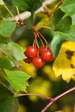 Ripe Hawthorn (Crataegus) berries Royalty Free Stock Photos