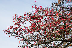 Ripe hawthorn red berries Royalty Free Stock Photography