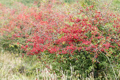 Ripe hawthorn Royalty Free Stock Images