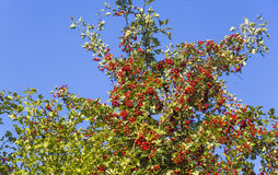 Ripe hawthorn in a  sunny autumn  sky Stock Image