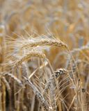 Ripe heads of golden wheat in the field Royalty Free Stock Photo