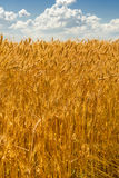 Ripe heat against the sky with clouds. Ripe wheat against the blue sky with clouds Stock Photos