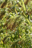 Ripe heirloom millet growing outdoors Stock Photography
