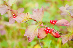 Ripe Highbush Cranberriies Viburnum edule on shrub Stock Image