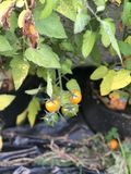 Ripe home grown tomatoes. On plant. Farming in the back royalty free stock photo